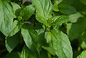 Basil mint (Mentha x piperita citrata), a cross-bred herb that combines mint and basil flavours.