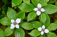 Bunchberry, Elwha Trail, Elwha River Valley, Olympic National Park, Olympic Peninsula, Clallam County, Washington, USA