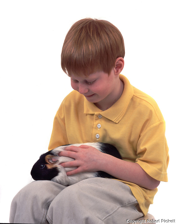 Young Boy holding Pet Guinea Pig, aged 7 years old, domestic, white background, cut out, studio, multi black, white and tan colour