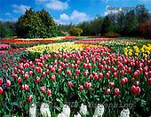 Tom Mackie, FLOWERS, photos, Spring Gardens at Springfields, Spaulding, Lincolnshire, England, GBTM892075-1,#F# Garten, jardín