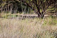 Bunch grass, Muhlenbergia rigens deer grass in meadow in front of manzanita at Menzies California native plant garden, San Francisco Botanical Garden