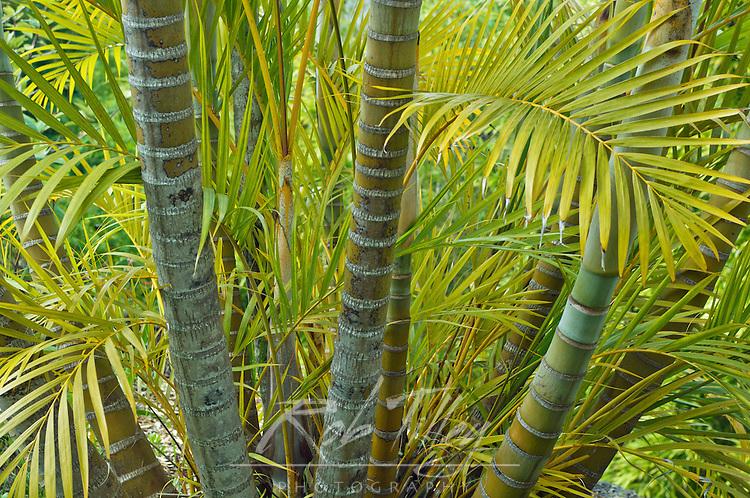 USA, HI, Maui, Kula, Kula Botanical Garden, Areca Palm