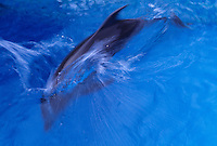 Atlantic Bottlenose dolphin dives in water at Sea Life Park, Oahu, Hawaii