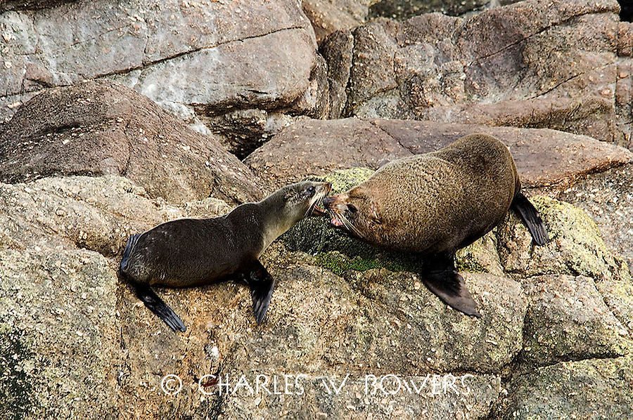 The seal colony at Cape Foulwind is wonderful for seal watching. In mating season the bulls fight for dominance. <br /> <br /> -Limited Edition of 50 Prints.