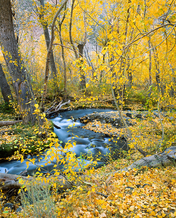 Aspen (Populus tremuloides), also Quaking, Trembling or American Aspen along McGee Creek. Eastern Sierra Nevada Mountains, Inyo National Forest, Inyo County, CA.