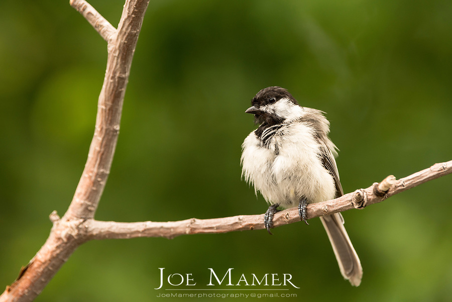 Black Capped Chickadee perched on a branch ruffling feathers.