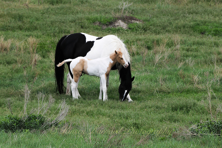 Beautiful mares and foals frolic on the Pine Ridge Reservation in South Dakota. Pine Ridge Ponies. Pine Ridge Paints