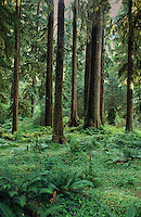 Ferns are the carpet of the Hoh Rain Forest floor with Fir, Spruce, Cedar, Hemlock, and Maple trees.  The Hoh gets 12 feet of rain a year.