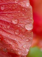 A closeup of a beautiful hibiscus flower with water droplets.