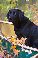 A black Labrador retriever sits in a green canoe in fall autumn in Michigan.
