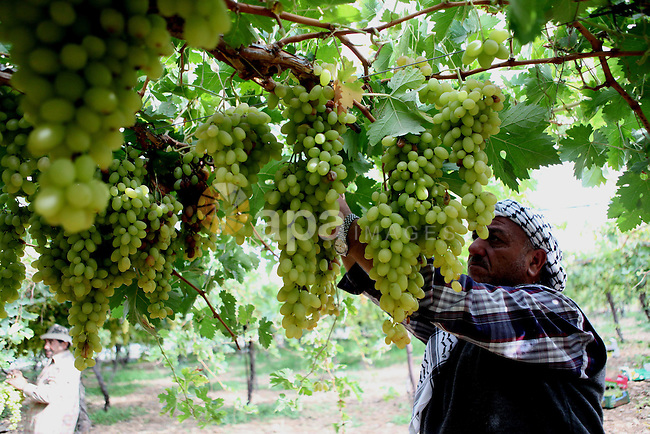 A Palestinian farmer harvests grapes in his field near the West Bank city of Hebron, Sept. 29, 2014. Hebron is famous for its quality grape production and its lush vineyards. Photo by Mamoun Wazwaz