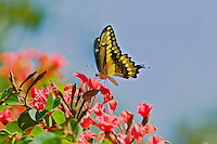 Giant Swallowtail Butterfly (Papilio cresphontes) nectaring on flowers...(San Diego Wild Animal Park, San Diego, CA)