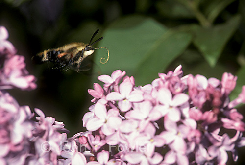 Snowberry Clearwing Hummingbird moth,  feeding on lilac
