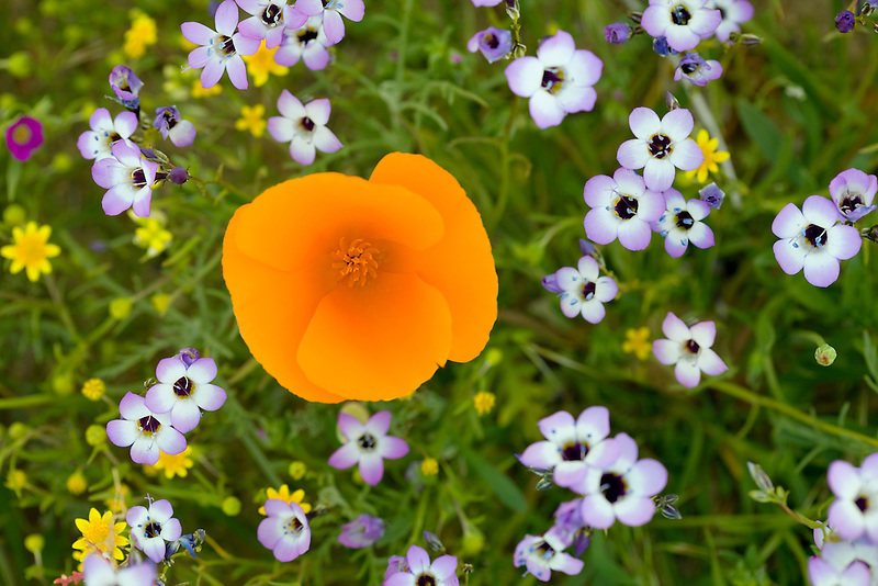 California poppies (Eschscholtzia californica) and Davy Gilia (latiflora ssp.Davyi). Antelope Valley Poppy Preserve. California