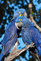 Blue Hyacinth Macaw Pair remain mates for life
