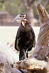 Hornbill on a tree limb at the San Diego zoo San Diego California USA..