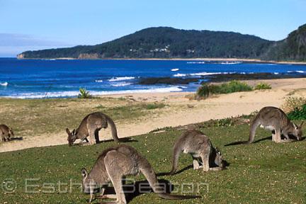 Tame Eastern Grey Kangaroos feeding on grass at Pebbly Beach, Murramarang National Park, NSW