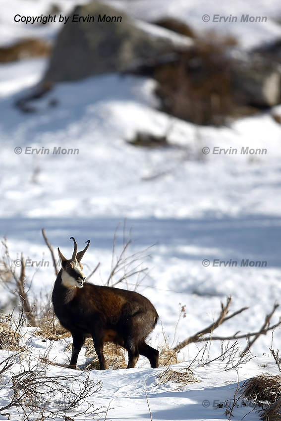 Young and old chamois buck in the snow