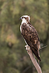 Guerroro Negro, Baja California Sur, Mexico; an osprey sitting on a dead tree branch with green trees in the background