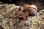 Forest wolf spider with egg sac