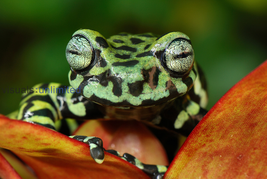 Tiger Tree Frog on a Bromeliad flower (Hyloscirtus tigrinus), Pasto, Depart. Narino, Colombia