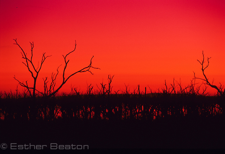 Barren Box Swamp. Box trees killed by flooding for irrigation. Sunrise. Western New South Wales