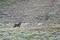 Alpha female 926F of the Lamar Canyon wolf pack.