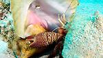 Petrochirus diogenes, Giant Hermit Crab, Florida Keys