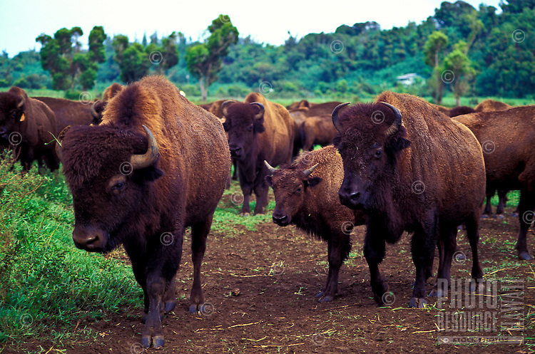 Buffalo moving out to pasture at a ranch in the Hanalei Valley