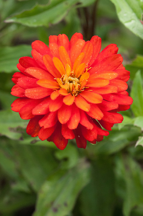 Zinnia 'Zahara Double Fire', early September. Reaching about 14in/35cm high and across, this compact orange-red double variety brings together the qualities of the tall, traditional, double flowered zinnias until recently known as Zinnia elegans and the daintier, small-flowered types, Z. angustifolia, which are easier to grow. http://mygarden.rhs.org.uk/blogs/graham_rice/archive/2010/10/09/zinnia-zahara-double-fire-new-from-plants-of-distinction.aspx