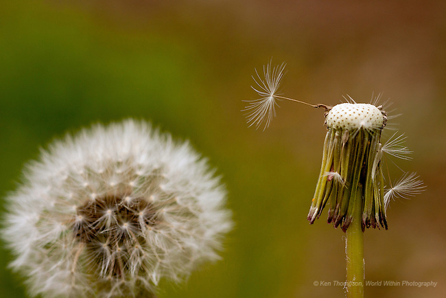 The last seed pod, dandelions at the Morton Arboretum