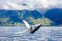 A humpback whale, Megaptera novaeangliae, breaches off the coast of West Maui, Hawaii, USA, Pacific Ocean, digital composite