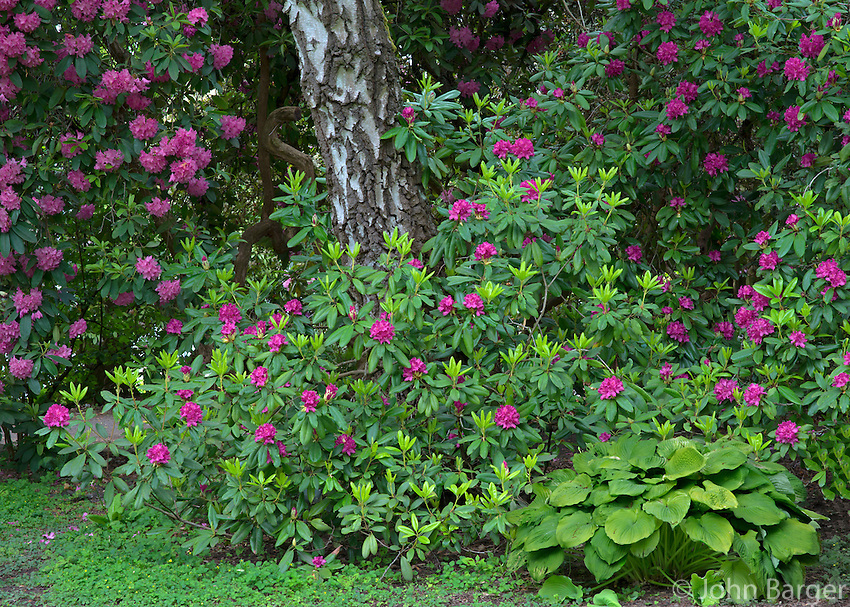 ORPTC_D177 - USA, Oregon, Portland, Crystal Springs Rhododendron Garden, Purple blossoms of rhododendrons in bloom and birch tree.