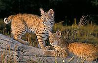 Bobcat kittens, 8 weeks old. Rocky Mountains. (Felis rufus).