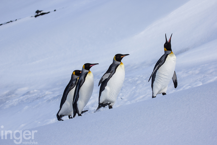King Penguins on Ice at Heard Island, Antarctica
