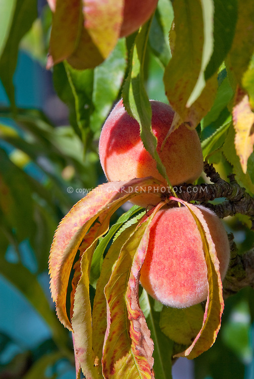 Prunus persica 'Contender' very hardy peach tree fruit growing