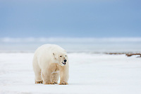 Female polar walks on the snow in strong winds on Barter Island in Alaska's Arctic.