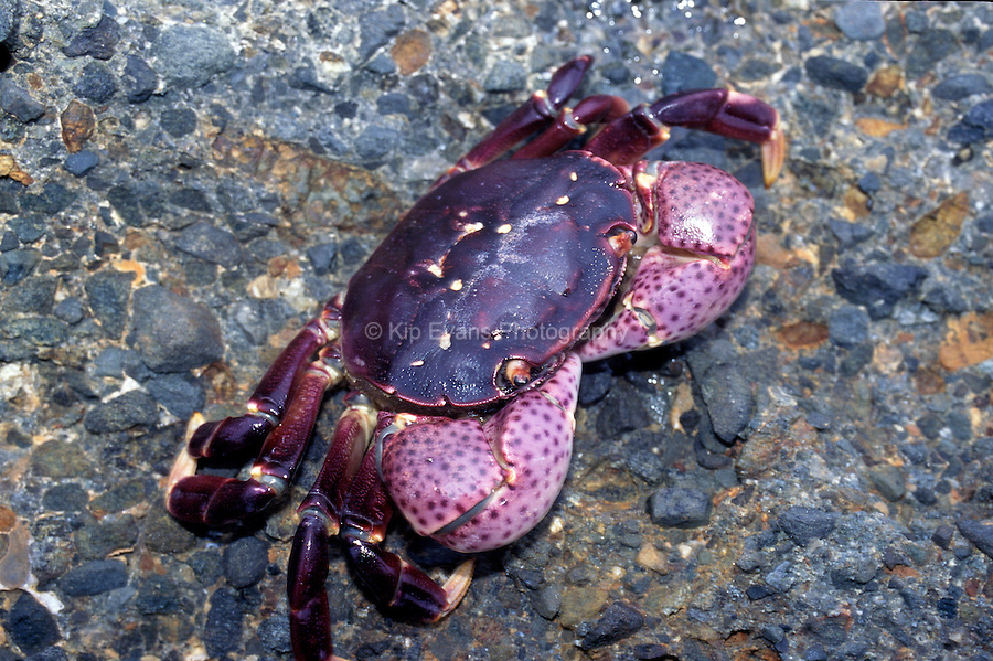 Purple Shoreline Crab (Hemigrapsus nudus), California Coast