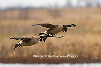 00748-05720 Canada Geese (Branta canadensis) flying into wetland, Marion County, IL