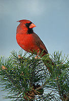 Northern Cardinal, Cardinalis cardinalis, male, perched on Pine