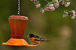 northern oriole on feeder