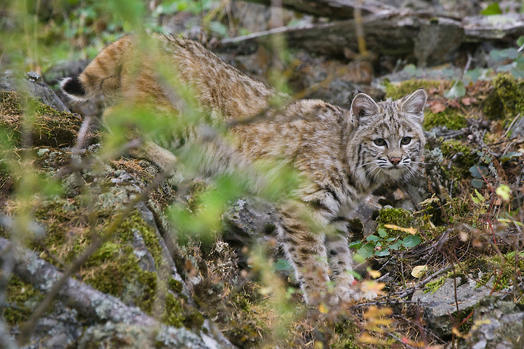 Young Bobcat walking through the brush - CA