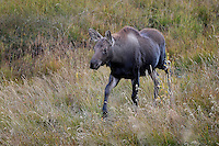 Moose Calf, Grand Tetons National Park, Wyoming