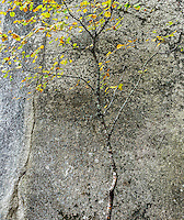 Granite and autumn tree, Acadia National Park, Maine, USA