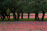 Meadow of bright red Paintbrush and Bluebonnets Texas grow around Live Oak Trees