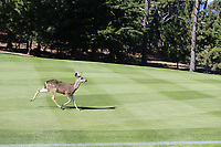 Deer runs down the 1st fairway during Thursday's Round 1 of the 2018 AT&amp;T Pebble Beach Pro-Am, held over 3 courses Pebble Beach, Spyglass Hill and Monterey, California, USA. 8th February 2018.<br /> Picture: Eoin Clarke | Golffile<br /> <br /> <br /> All photos usage must carry mandatory copyright credit (&copy; Golffile | Eoin Clarke)