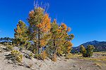 Trees during autumn in The Great Sand Dunes National Park and Preserve, Colorado; USA