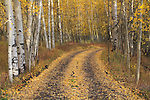 Dirt road leads into an Aspen forest, San Juan Mountains, autumn, Colorado.