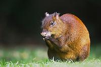 Central American Agouti, Dasyprocta punctata, adult eating, Bosque de Paz, Central Valley, Costa Rica, Central America