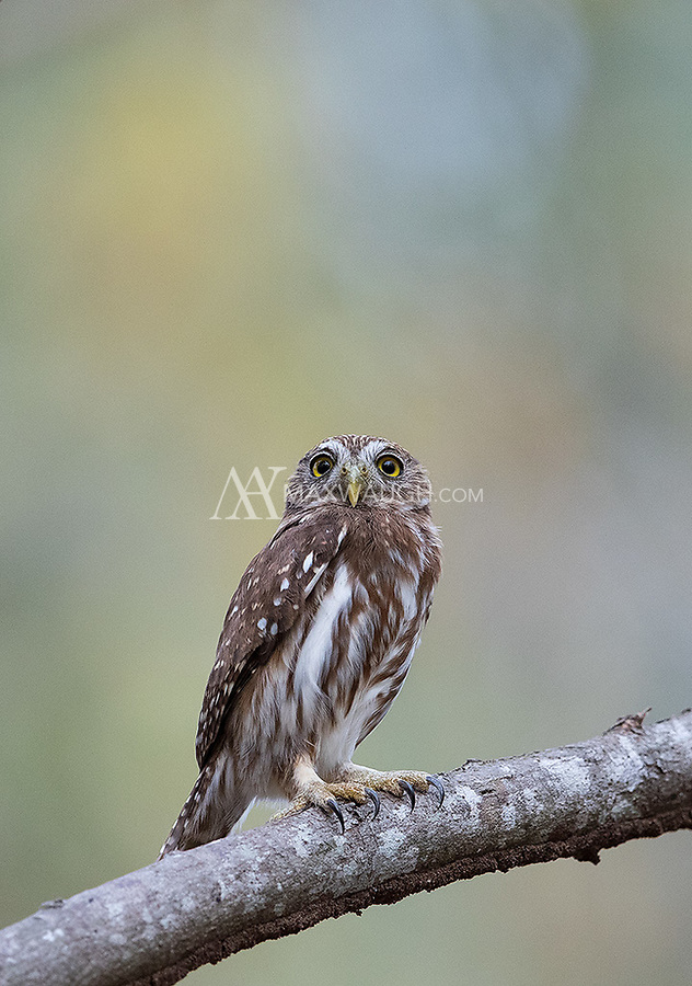 Not far from where we saw the screech owls we landed a couple of Ridgway's pygmy owls.